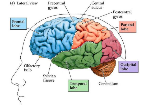 imagem do cérebro reptiliano