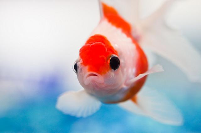 peixe dourado a nadar